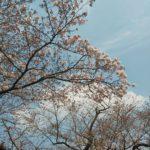 上有田駅前の桜は五分咲き程度です